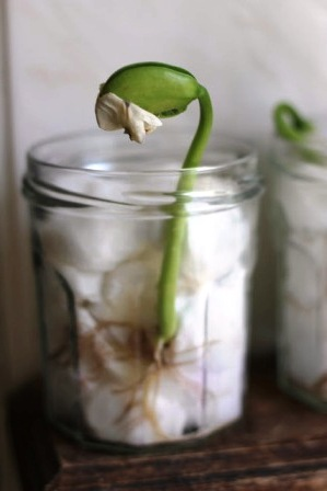 Как вырастить бобы (3)