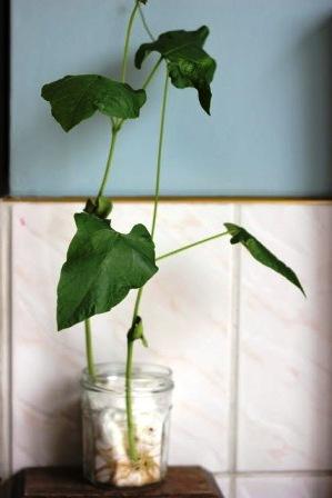 Как вырастить бобы (5)